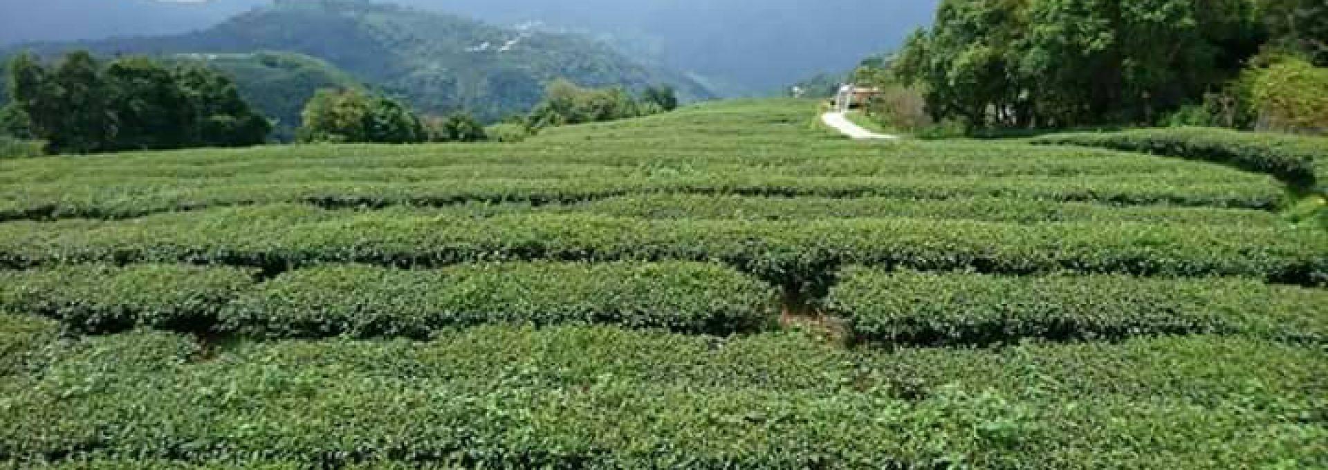 嘉義茶園1